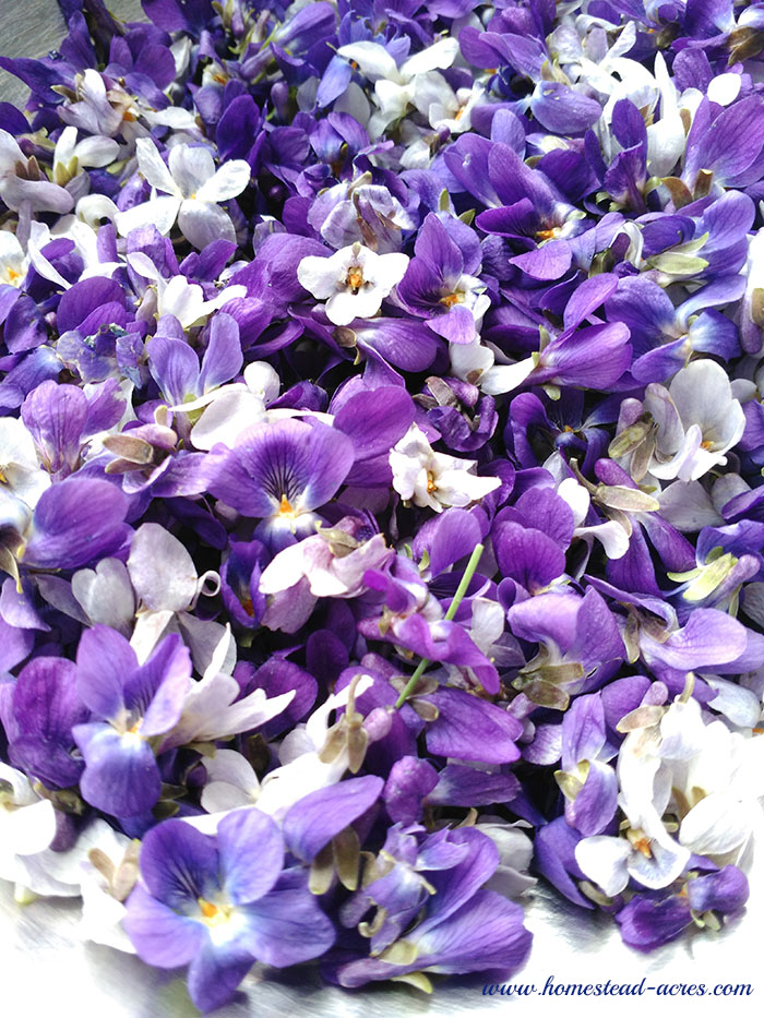Freshly picked wild violet flowers for making violet jelly.