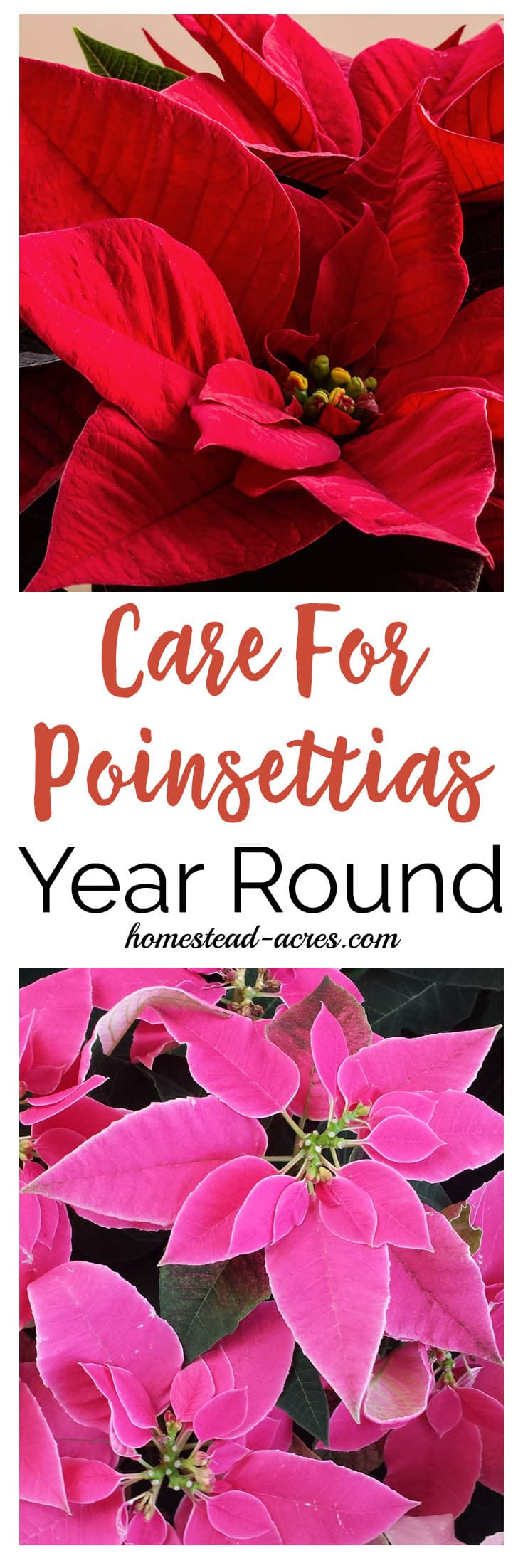 How To Care For Poinsettias Year Round Homestead Acres