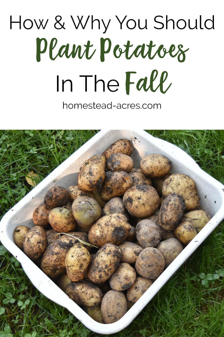 How to plant potatoes in the fall. Tips for fall planting potatoes for a great summer harvest. #gardening #plantingpotatoes