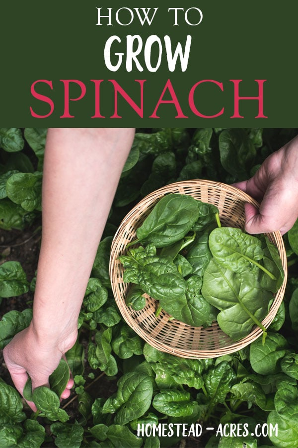 Growing Spinach How To Plant Grow And Harvest