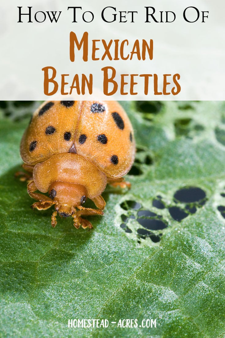 Are Mexican bean beetle adult fantasy