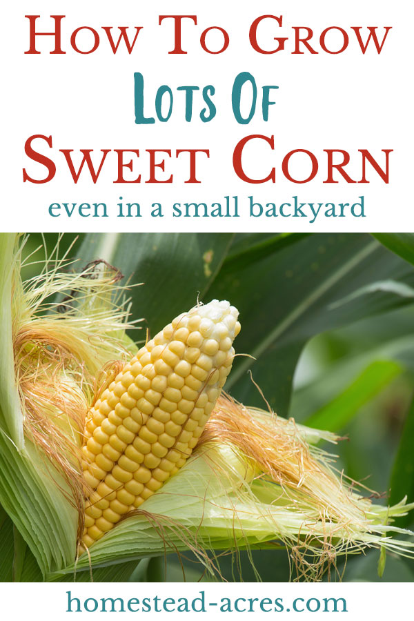 How to grow lots of corn in your small backyard garden.