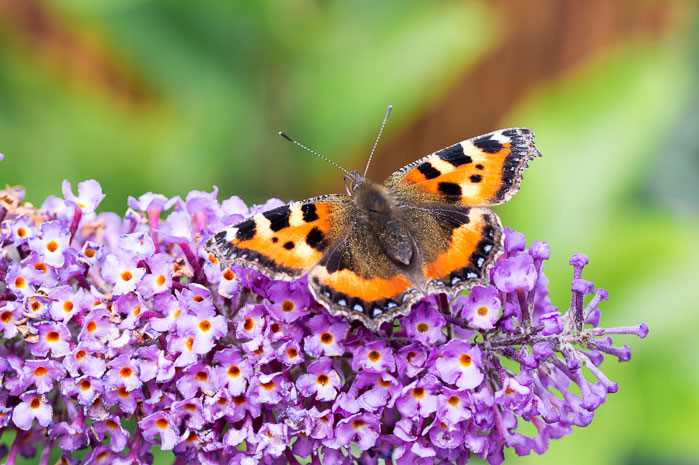 Butterfly bush for attracting butterflies to your garden.