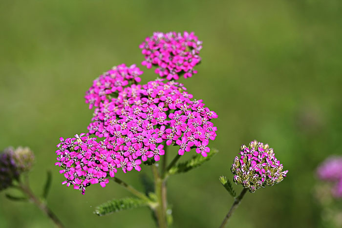 Grow yarrow flowers to attract butterflies to your garden.
