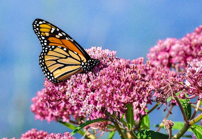 Grow milkweed in your garden to attract butterflies!