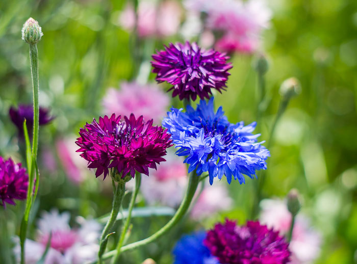 Grow bachelor's buttons flowers to help attract butterflies to your garden.
