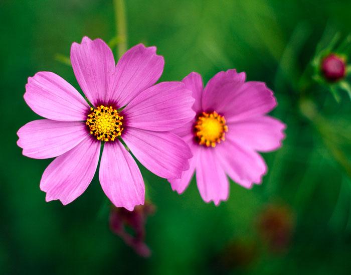 Grow cosmos flowers in your garden to help attract butterflies.