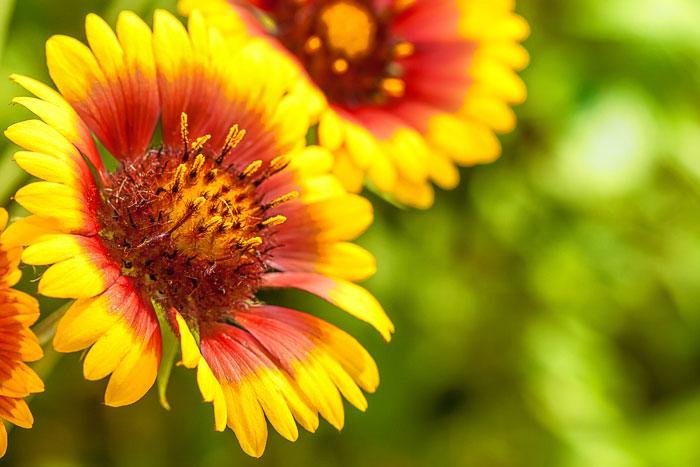 Grow blanketflower also called firewheel to attract butterflies to your garden.