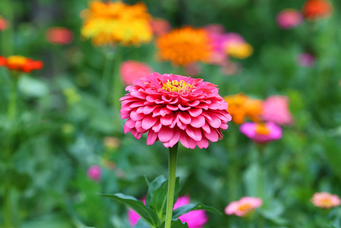 Try growing zinnias to attract butterflies to your garden.