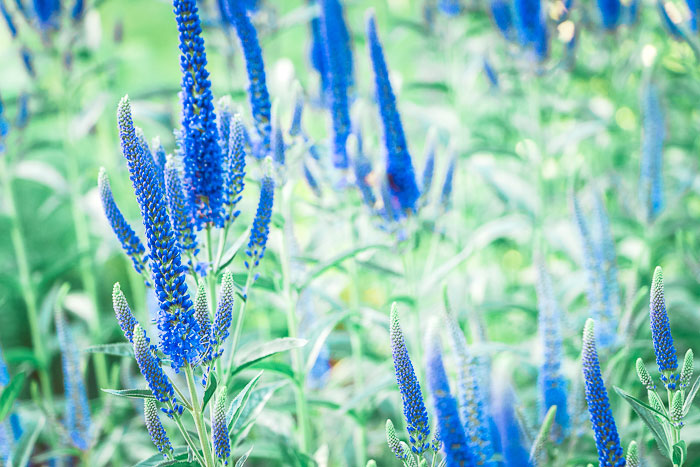 Grow Blue Bouquet in your garden to attract butterflies.