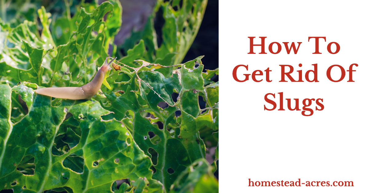 How to get rid of slugs in your garden homestead acres - How to get rid of slugs in garden ...