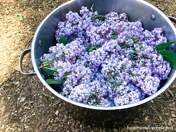 Gathering lilac flowers to make jelly.