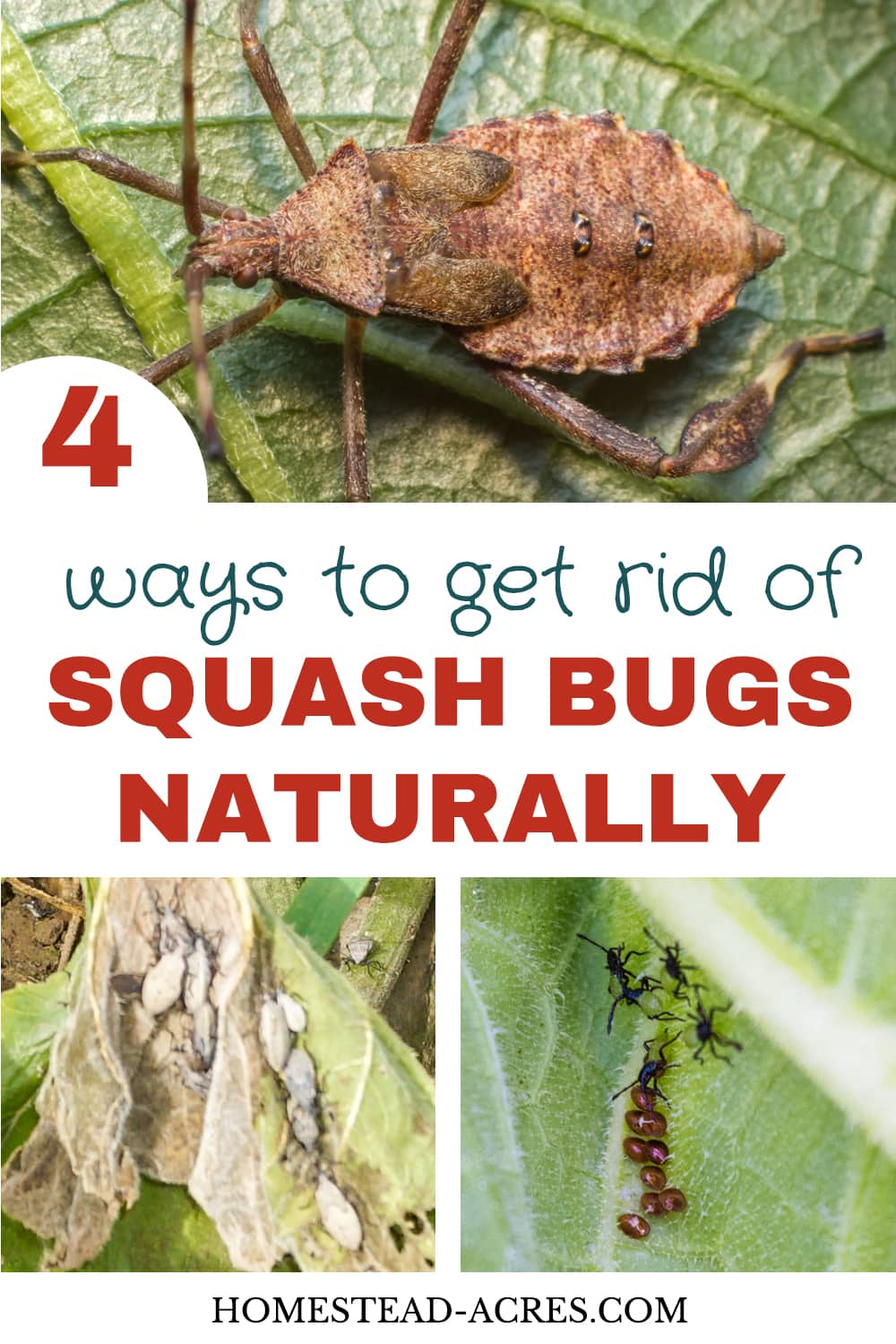 How To Get Rid Of Squash Bugs Homestead Acres
