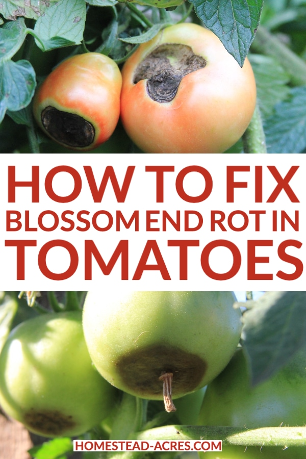 How To Fix Blossom End Rot In Tomatoes text overlaid on a collage image of red and green tomatoes with blossom end rot.