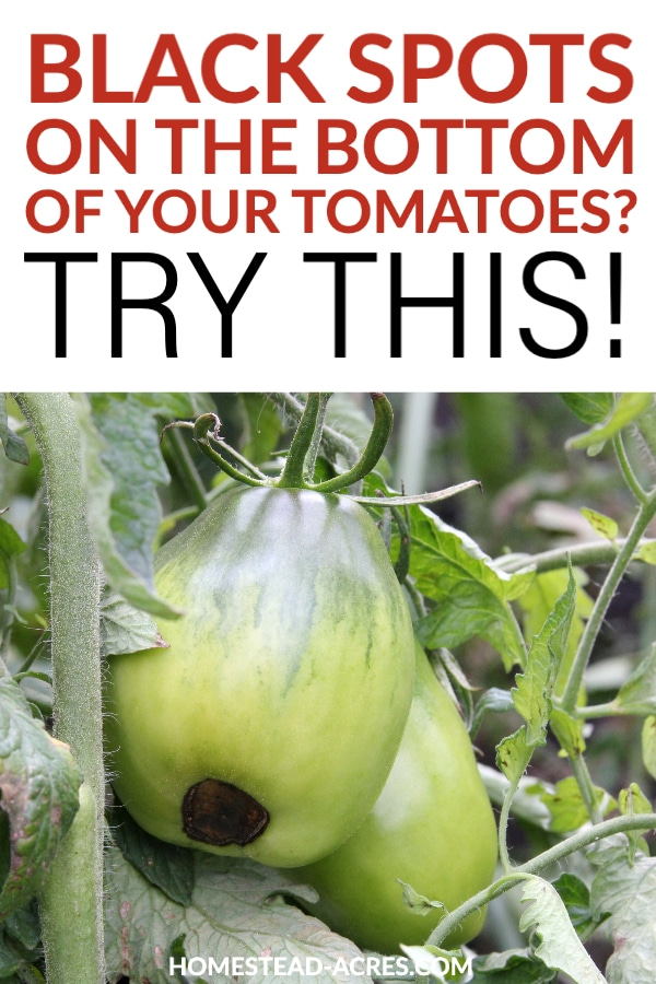 Black Spots On Bottom Of Tomatoes? Try This! Text overlaid on a photo of a roma tomato with a brown spot on the bottom.