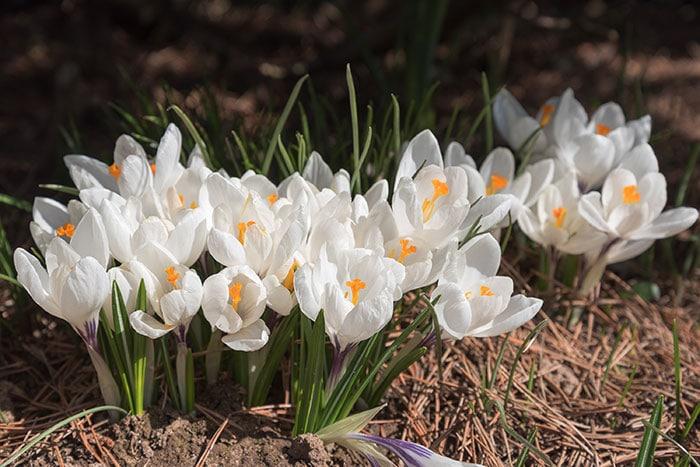 White crocus flowers blooming in a flower garden.
