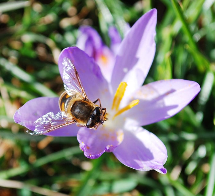 Honey bee on a crocus flower in the early spring.
