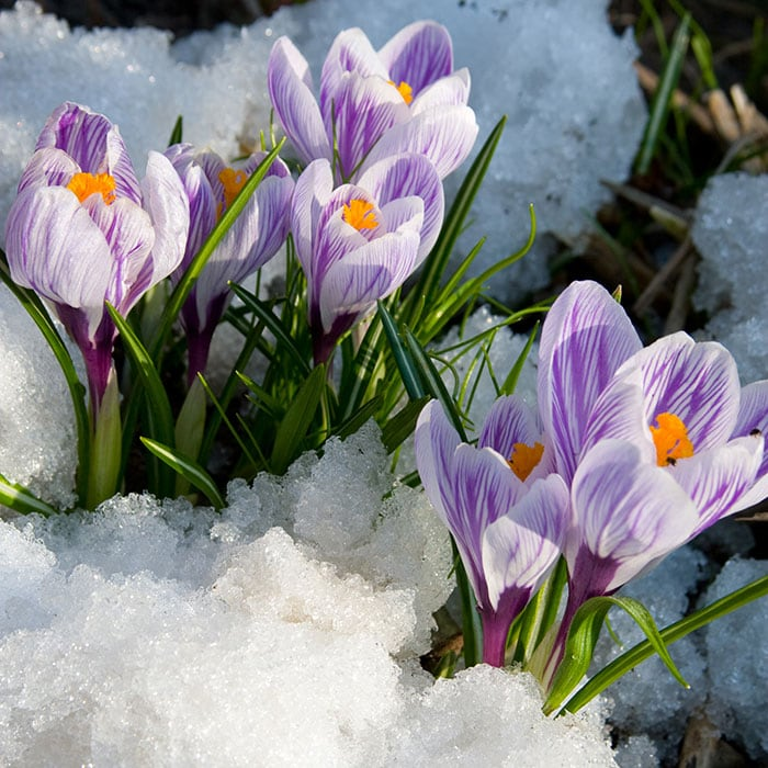Crocus flowers blooming through the snow in early spring.
