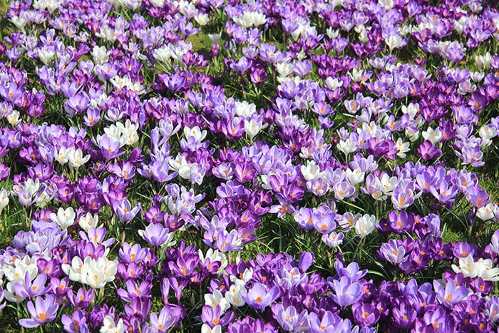 Purple and white crocus flowers growing in a lawn.