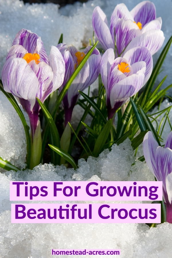 Tips For Growing Beautiful Crocus text overlaid on a photo of purple crocus flowering in the snow.