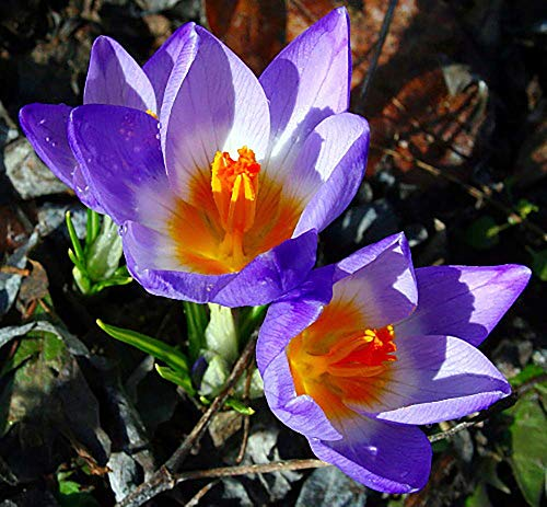 Tri-Color Snow Crocus