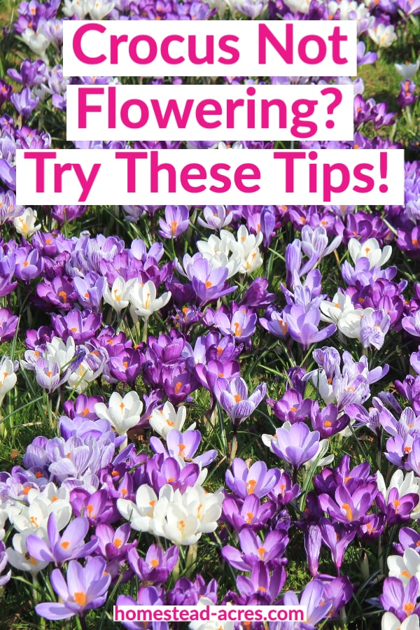 Crocus Not Flowering Try These Tips text overlaid on a photo of purple and white crocus growing in a lawn
