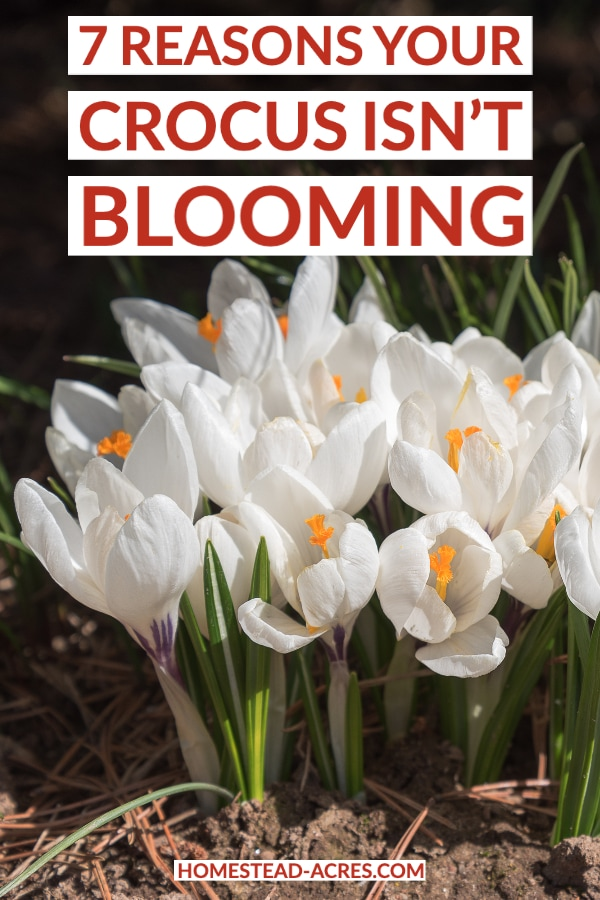 Reasons Your Crocus Isn't Blooming text overlaid on a photo of white crocus flowers blooming.