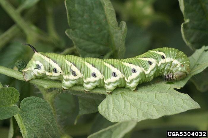 Mature tomato hornworm caterpillar. Photo credit Whitney Cranshaw, Colorado State University, Bugwood.org.