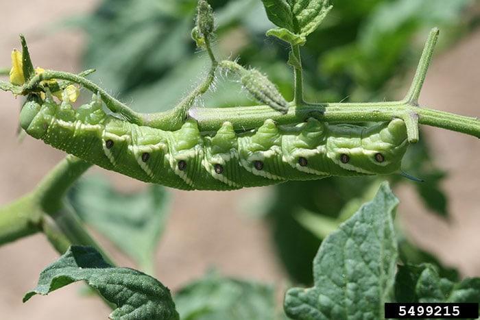 Close up of a tomato hornworm feeding on a tomato plant. Photo credit Whitney Cranshaw, Colorado State University, Bugwood.org.