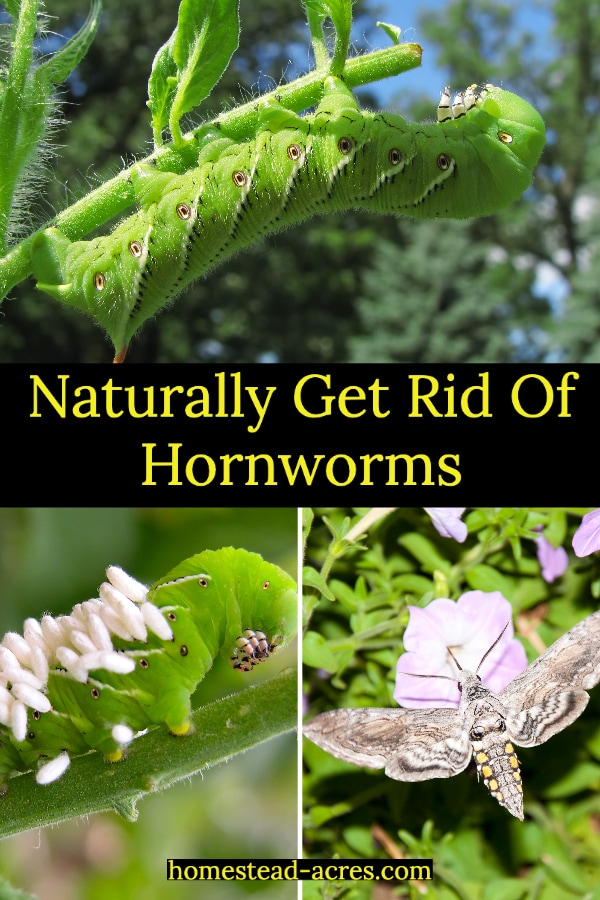 Naturally Get Rid Of Hornworms text overlaid on a photo collage top image is a hornworm eating a tomato plant, lower left a hornworm with parasitic wasp eggs, lower right an hawkmoth.