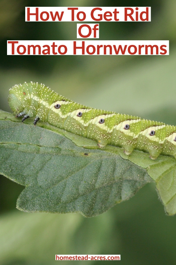 How To Get Rid Of Tomato Hornworms text overlaid on a close up photo of a hornworms on a tomato plant