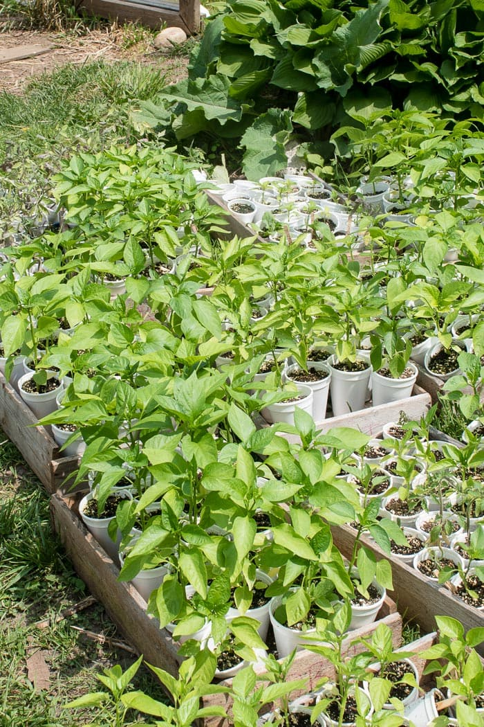 Pepper plants being hardened off.