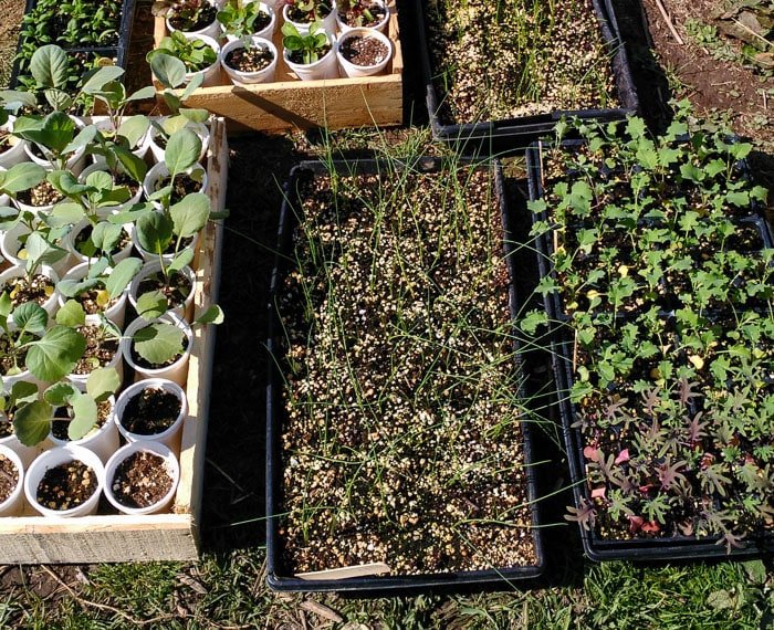 Kale, onions, and cabbage seedlings being hardened off outside.