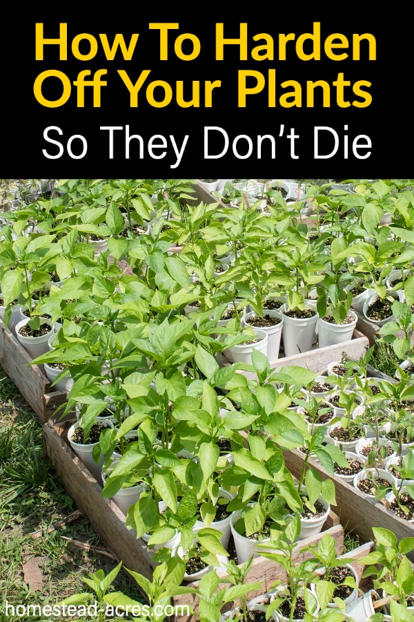 How To Harden Off Your Plants So They Don't Die text overlaid on a photo of pepper seedlings.