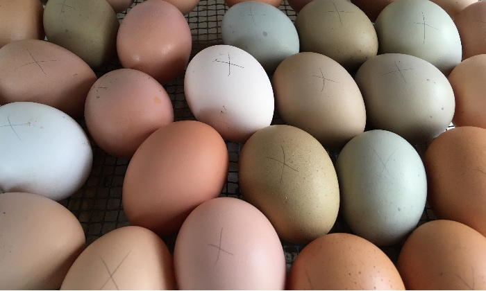 Many colors of chicken eggs in the incubator.