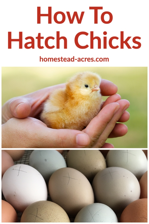 How to Hatch Chicks text overlaid on a photo collage of chicken eggs and a baby chick