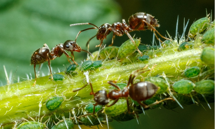Ants caring for aphids to collect honeydew.