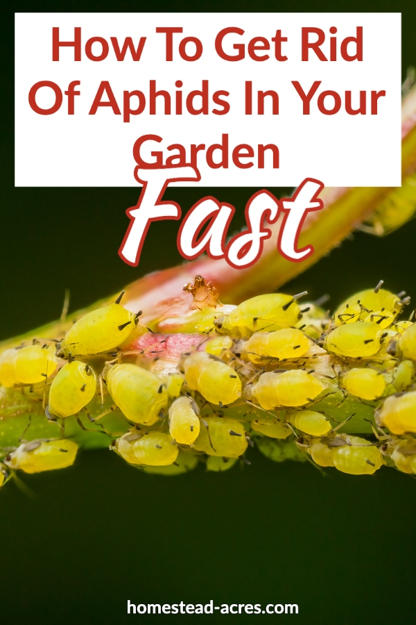 How To Get Rid Of Aphids In Your Garden Fast text overlaid on a photo of yellow aphids sucking on a stem.