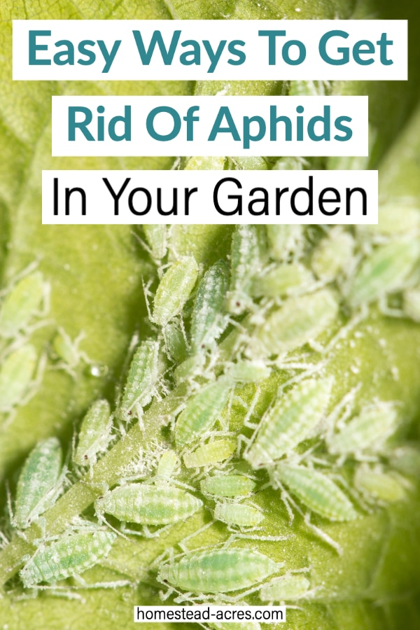 Easiest Ways To Get Rid Of Aphids text overlaid on a photo of light many green aphids.