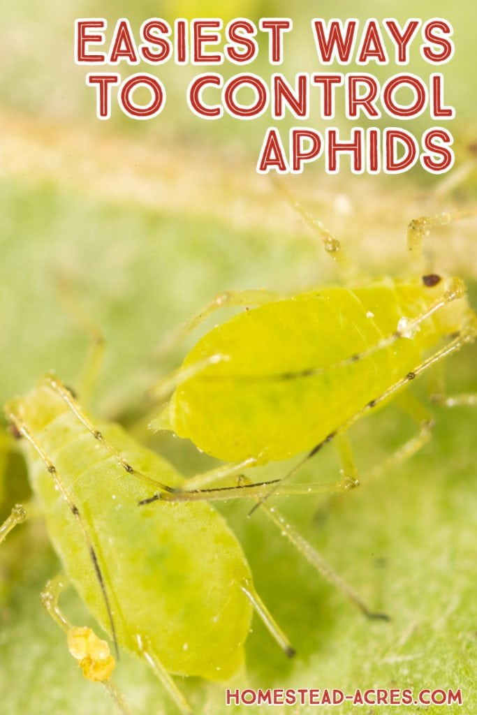 Easiest Ways To Control Aphids text overlaid on a closeup photo of green aphids.