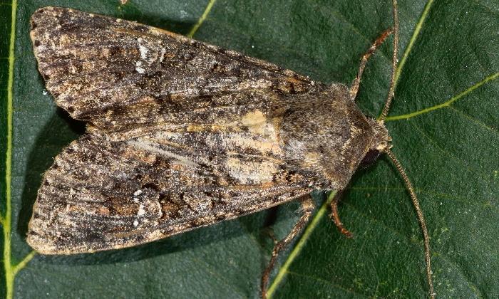 Trichoplusia ni, cabbage looper moth