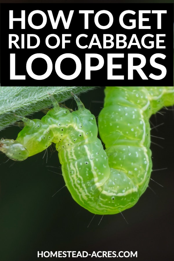 How To Get Rid Of Cabbage Loopers text overlaid on a closeup photo of a cabbage looper on a stem