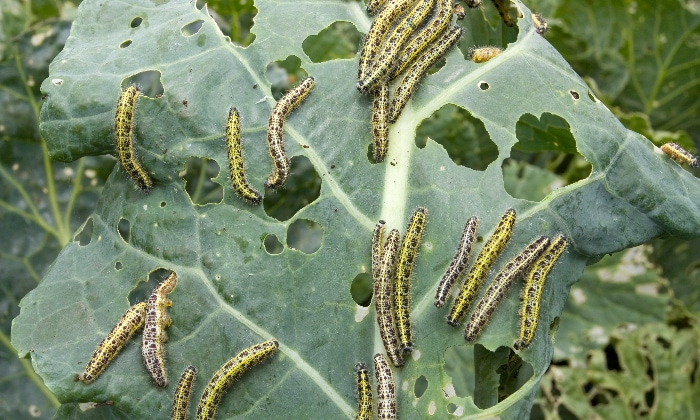 Cabbage worms from the large white butterfly.