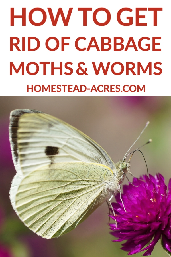 How To Get Rid Of Cabbage Moths And Worms text overlaid on a photo of a white butterfly cabbage moth