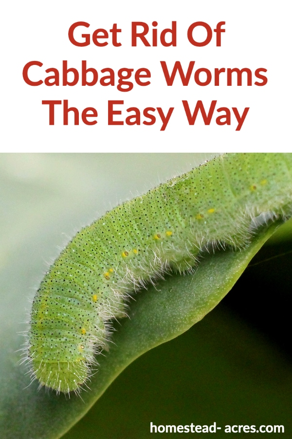 Get Rid Of Cabbage Worms The Easy Way text overlaid on a photo of a green cabbage worm