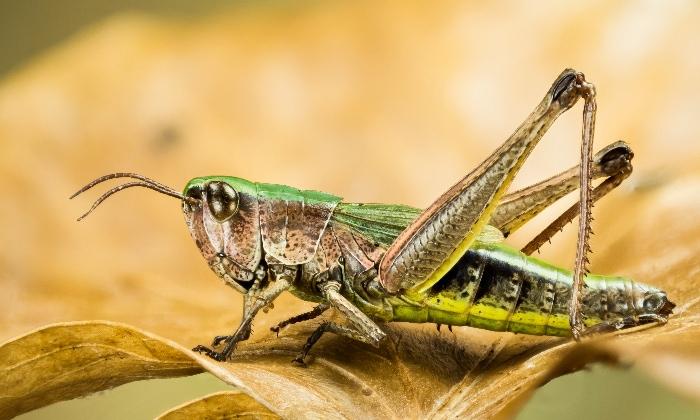 Green grasshopper sitting on a dried leaf.