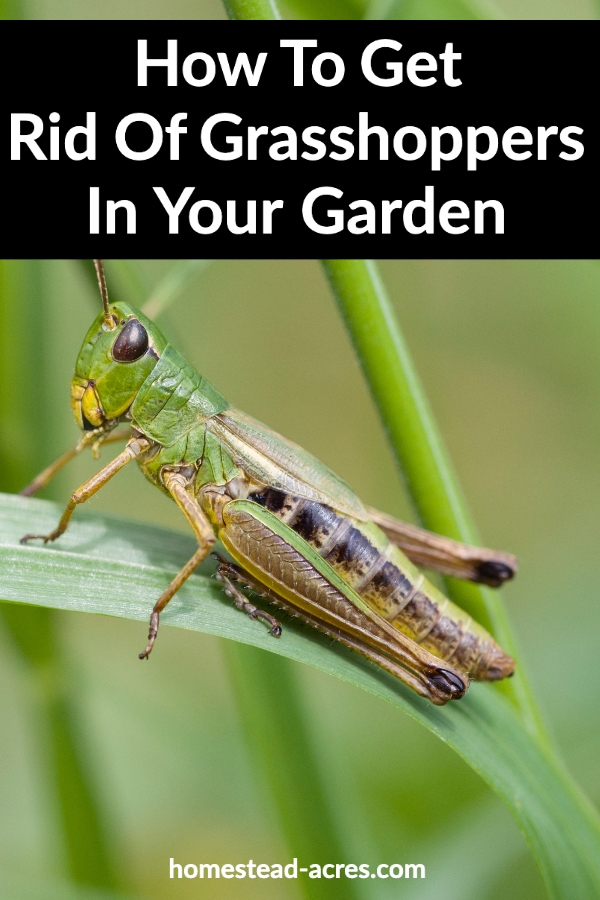 How To Get Rid Of Grasshoppers In Your Garden text overlaid on a photo of a green grasshopper on a blade of grass