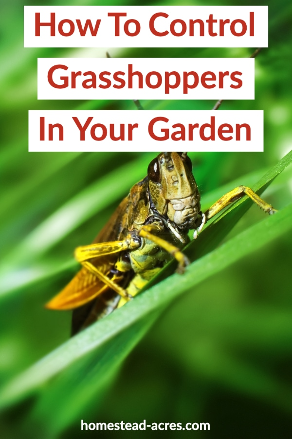 How To Control Grasshoppers In Your Garden text overlaid on a photo of a brown grasshopper on grass