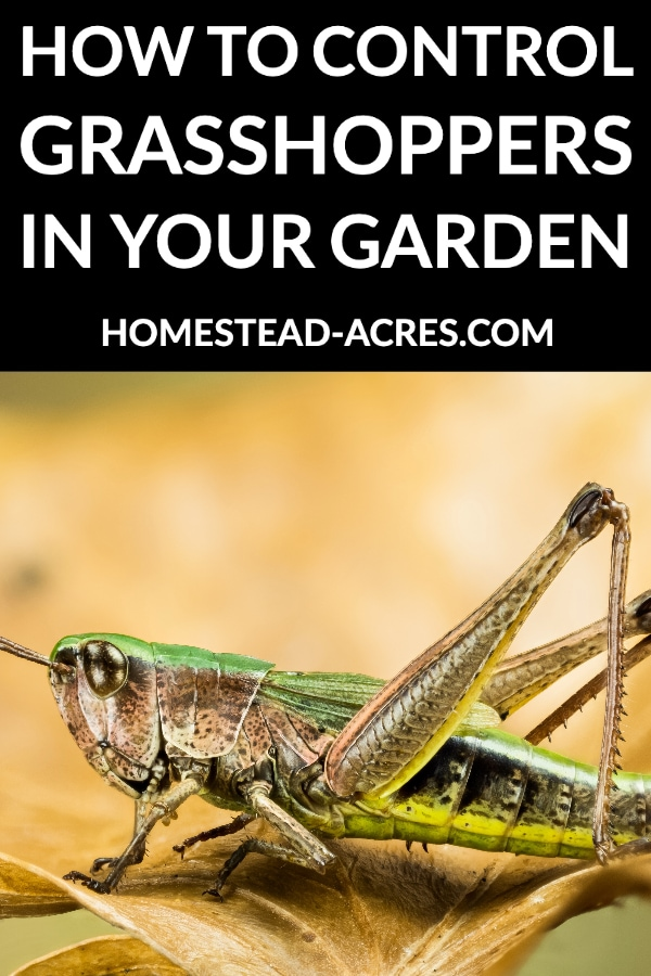 How To Control Grasshoppers In Your Garden text overlaid on a photo of a green grasshopper on a brown leaf