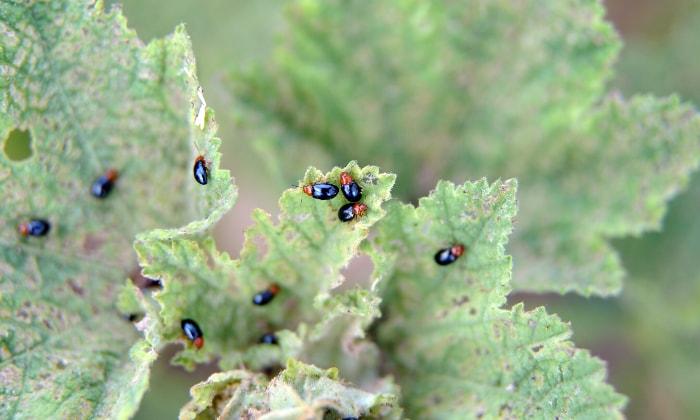 Black and red flea beetles feeding on leaves.